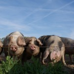 buitengewone-varkens